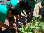Garden Youth Crew planting at Winter Hill School