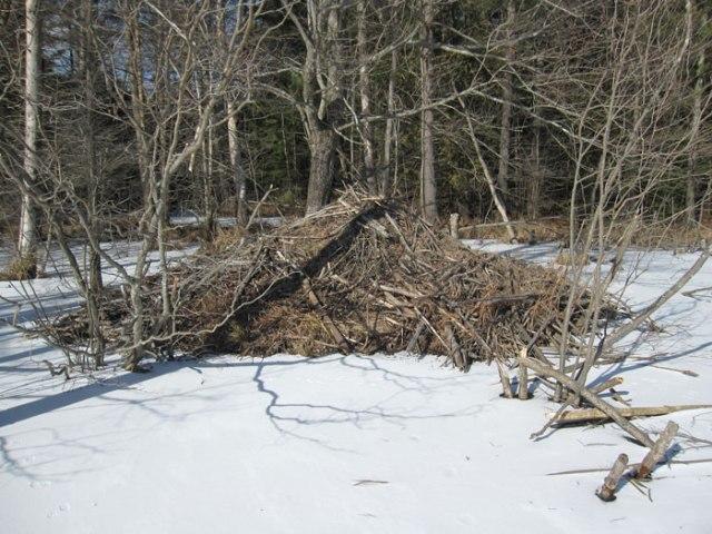 Here's the beaver dam, where are the beavers?