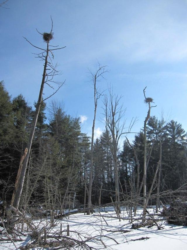 Osprey nests?