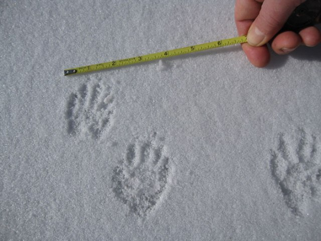 If you want to identify tracks later, it's helpful to know their scale. A raccoon made these.