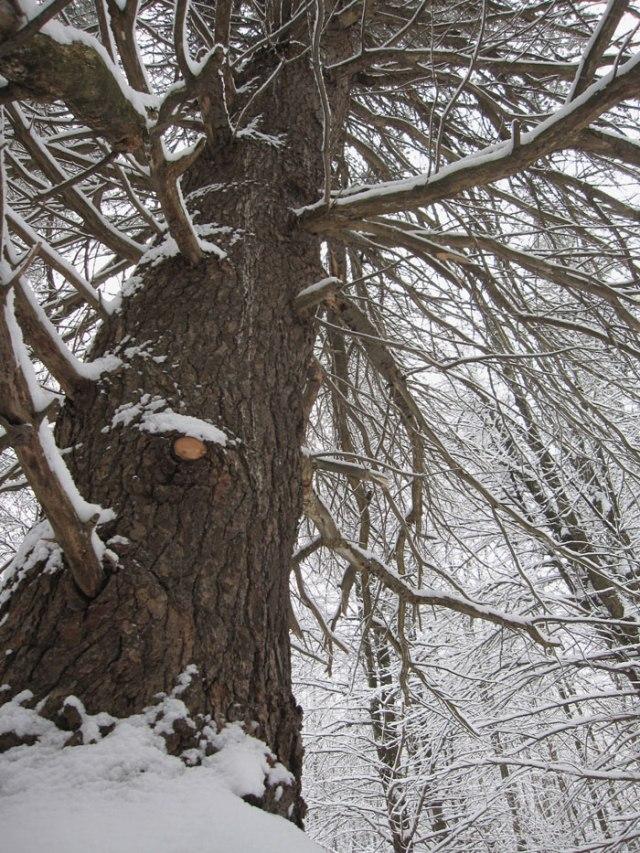 Mammoth white pine