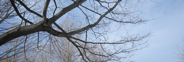 1. Learn to ID Sugar Maple trees in the winter.  Look for silvery vertically flaky bark and opposite twigs.