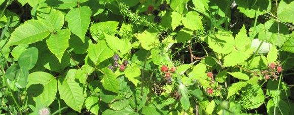 Black-Caps-Poison-Ivy