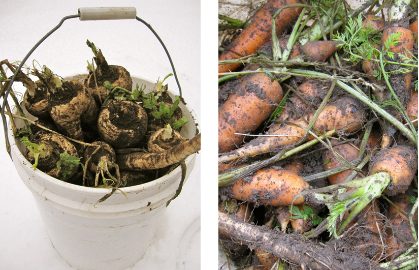 how to grow and harvest parsnips