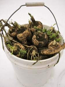 winter-parsnip-harvest