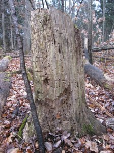 """""""Worm writing"""" covers this rotten log"""