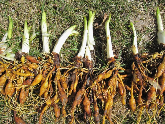 I dug up some day lilly shoots and tubers.  Fry firm tubers and shoots in butter with salt.  Yum!
