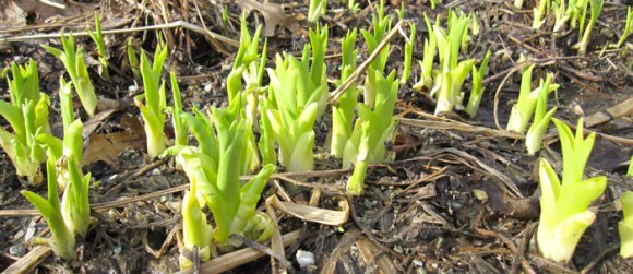Day Lilly shoots have emerged