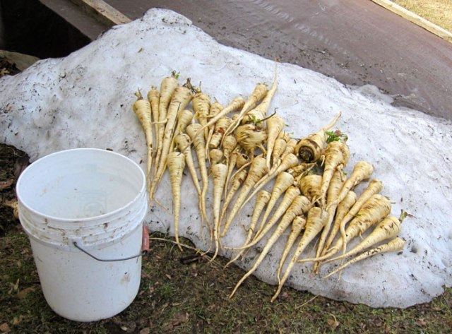Early spring parsnip harvest.