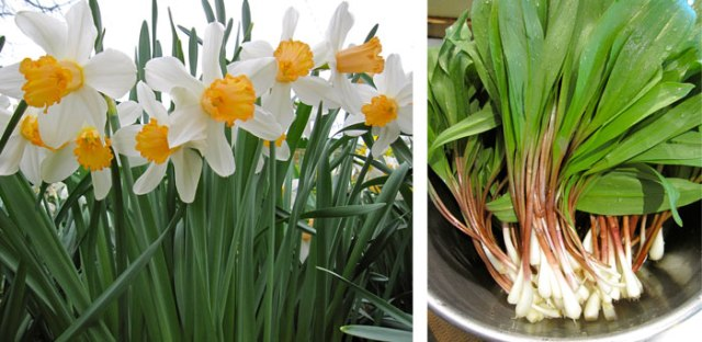 Daylilies and ramps to celebrate spring