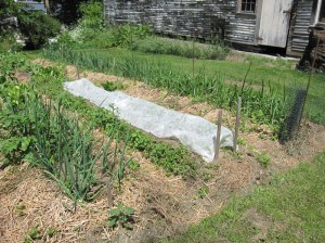 Row covers can help keep insects, rabbits, deer, and/or cats out of the garden if one specific row or crop is being targeted.
