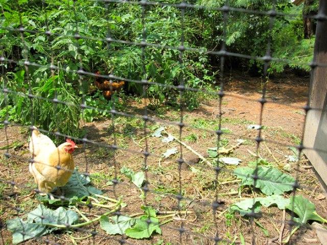 chicken-yard