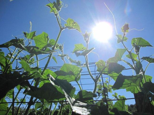 sunny-cucumbers