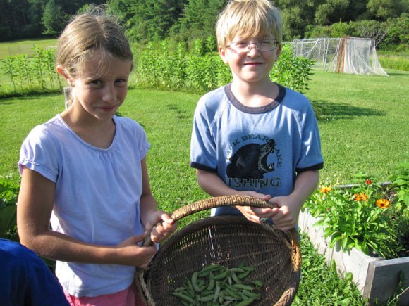 The last of our pea harvest
