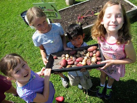 Rainbow potato harvest