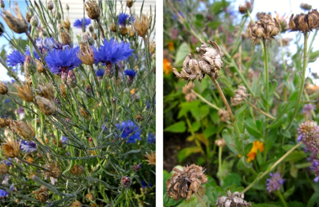 Flower seeds: bachelor button and calendula