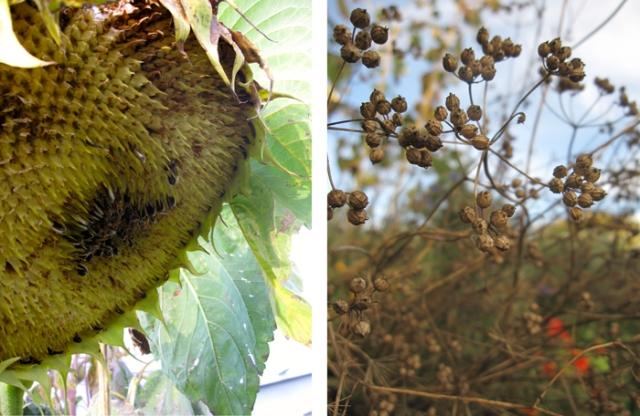 Seeds in the garden: sunflower and cilantro/corriander