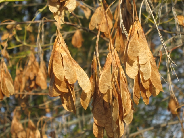 Helicopter seeds: Box Elder Tree
