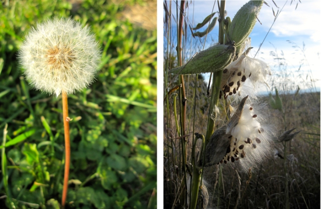 Parachute and wishing seeds: Dandelion and milkweed
