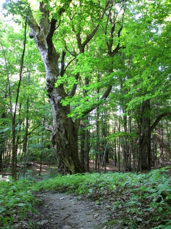 grandmother-trees